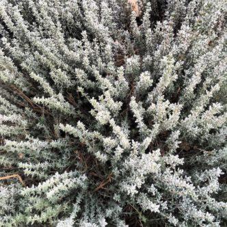 Frozen Thyme